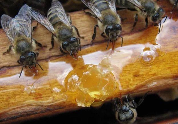 Пчелы у меда